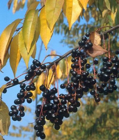 Prunus_serotina.jpg