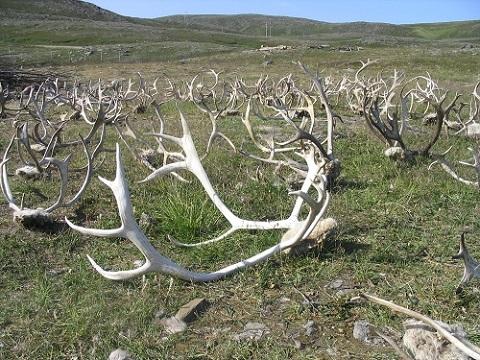 Reindeer_horns2.jpg