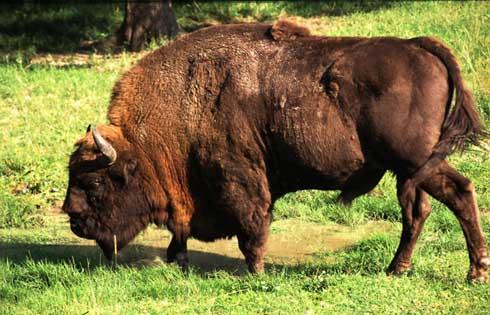 bisonte-europeo-parque-de-la-prehistoria-teverga.jpg