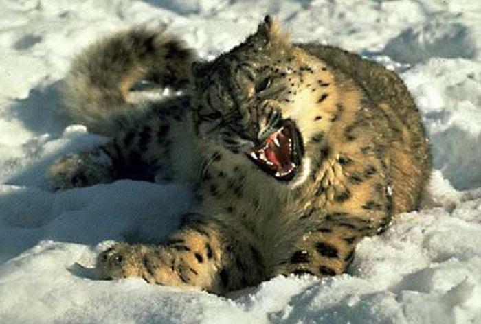 6Snowleopard.jpg