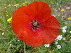 ACOQUELICOT.png